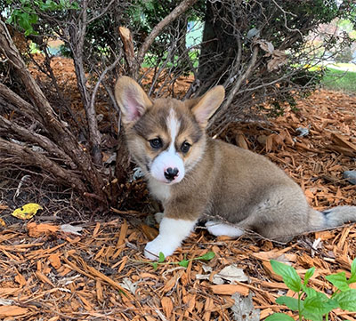 Corgi Puppies in MN