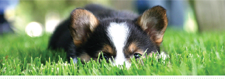 corgi in the grass